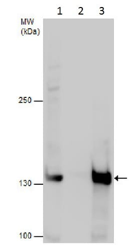 Immunoprecipitation - Anti-SMC2 antibody (ab229353)