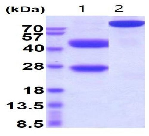 SDS-PAGE - Recombinant mouse IL-12 protein (Active) (ab229369)