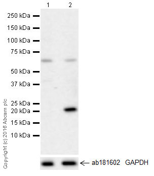 Western blot - Anti-IL-6 antibody [EPR21710] (ab229381)