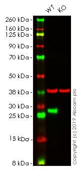 Western blot - Anti-Hsp27 antibody [EPR5477] - BSA and Azide free (ab229442)