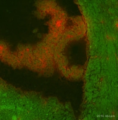 Immunohistochemistry (PFA perfusion fixed frozen sections) - Anti-Clusterin antibody [EPR2911] - Low endotoxin, Azide free (ab229445)