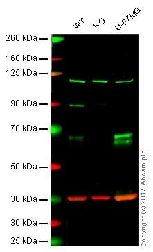 Western blot - Anti-Clusterin antibody [EPR2911] - Low endotoxin, Azide free (ab229445)