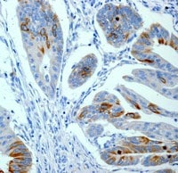 Immunohistochemistry (Formalin/PFA-fixed paraffin-embedded sections) - Anti-CD168 antibody [EPR4055] - Low endotoxin, Azide free (ab229447)