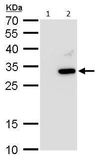 Western blot - Anti-ATG10 antibody (ab229461)