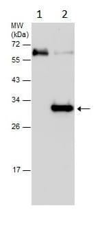 Immunoprecipitation - Anti-ATG10 antibody (ab229461)