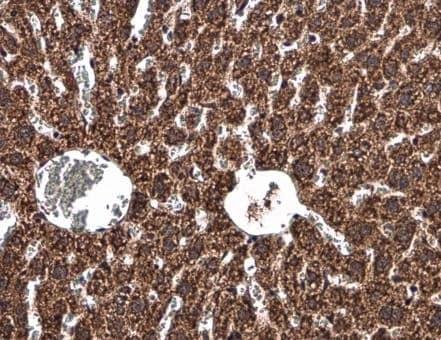 Immunohistochemistry (Formalin/PFA-fixed paraffin-embedded sections) - Anti-UQCRB antibody (ab229465)