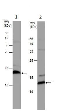 Western blot - Anti-UQCRB antibody (ab229465)
