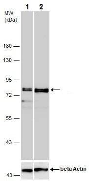 Western blot - Anti-SP2 transcription factor antibody (ab229468)