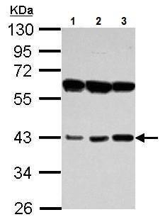 Western blot - Anti-PECI/ECI2 antibody (ab229470)
