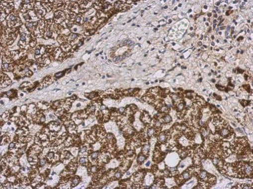 Immunohistochemistry (Formalin/PFA-fixed paraffin-embedded sections) - Anti-PECI/ECI2 antibody (ab229470)