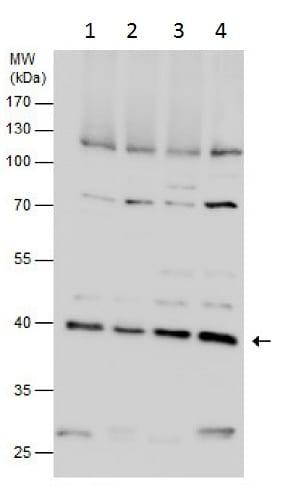 Western blot - Anti-DRG1 antibody (ab229475)