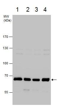 Western blot - Anti-NOL5A antibody - C-terminal (ab229497)