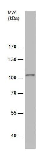 Western blot - Anti-STOP antibody (ab229503)