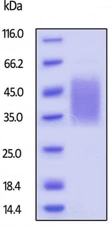 SDS-PAGE - Recombinant rhesus monkey CD47 protein (Active) (ab229520)