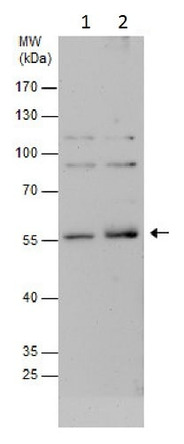 Western blot - Anti-EBV Induced Gene 2/EBI2 antibody - C-terminal (ab229527)