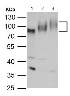 Western blot - Anti-Poliovirus Receptor/PVR antibody - N-terminal (ab229533)