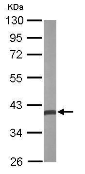 Western blot - Anti-Quinone oxidoreductase antibody (ab229535)
