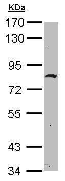 Western blot - Anti-ZNF326 antibody (ab229546)