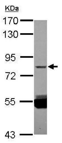 Western blot - Anti-ZNF280C antibody (ab229556)