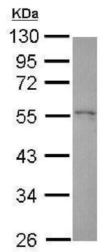 Western blot - Anti-HIP55 antibody (ab229562)