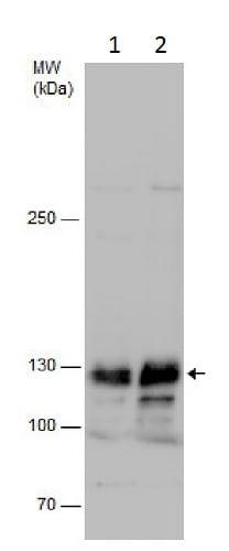Western blot - Anti-TTF1 antibody (ab229564)