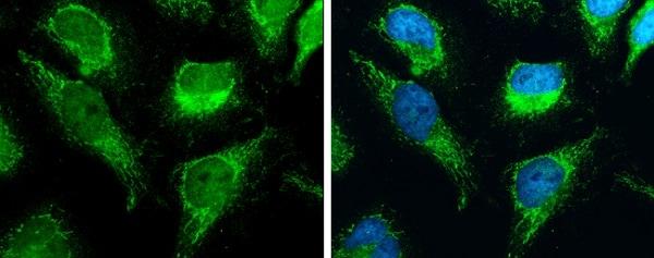 Immunocytochemistry/ Immunofluorescence - Anti-C18orf22/RBFA antibody (ab229570)