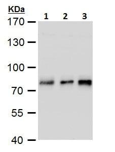 Western blot - Anti-TCF3 / E2A antibody - N-terminal (ab229605)