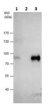 Immunoprecipitation - Anti-TCF3 / E2A antibody - N-terminal (ab229605)
