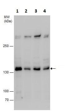 Western blot - Anti-SA2 antibody - N-terminal (ab229613)