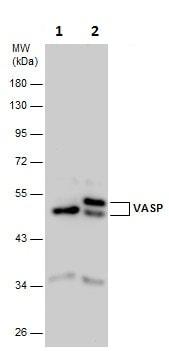 Western blot - Anti-VASP antibody (ab229624)