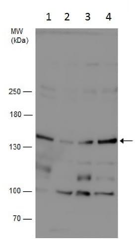 Western blot - Anti-GPRASP1 antibody (ab229627)
