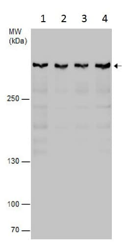 Western blot - Anti-Rif1 antibody (ab229632)