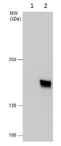 Immunoprecipitation - Anti-Gemin 5 antibody - C-terminal (ab229640)