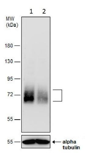 Western blot - Anti-Paxillin (phospho Y31) antibody - N-terminal (ab229644)