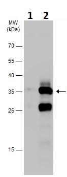 Western blot - Anti-STX17 antibody (ab229646)