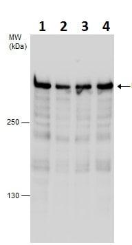 Western blot - Anti-Rif1 antibody - C-terminal (ab229656)