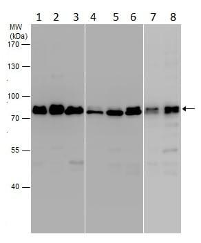 Western blot - Anti-Frizzled 6 antibody - N-terminal (ab229663)