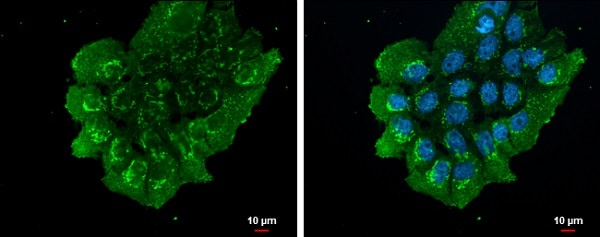 Immunocytochemistry/ Immunofluorescence - Anti-NUCB2 antibody - C-terminal (ab229683)
