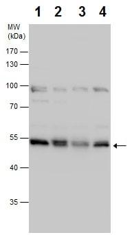 Western blot - Anti-NUCB2 antibody - C-terminal (ab229683)
