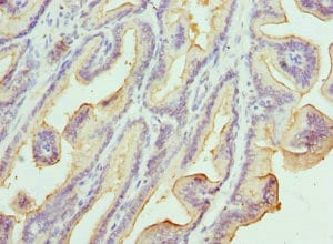 Immunohistochemistry (Formalin/PFA-fixed paraffin-embedded sections) - Anti-Kallikrein 10/K10 antibody (ab229690)