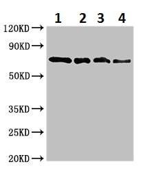 Western blot - Anti-SOX10 antibody (ab229693)