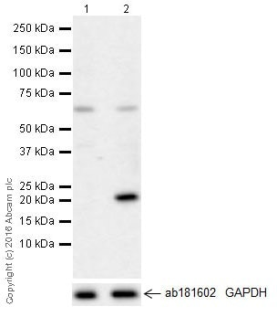 Western blot - Anti-IL-6 antibody [EPR21710] - BSA and Azide free (ab229697)