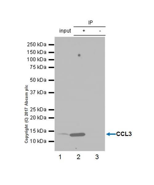 Immunoprecipitation - Anti-Macrophage Inflammatory Protein 1 alpha / CCL3 antibody [EPR16618-90] - BSA and Azide free (ab229699)