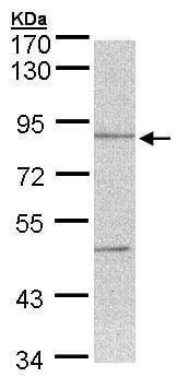 Western blot - Anti-Thimet Oligopeptidase antibody (ab229707)