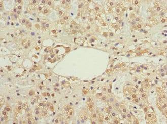 Immunohistochemistry (Formalin/PFA-fixed paraffin-embedded sections) - Anti-IFRD1 antibody (ab229720)