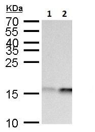 Western blot - Anti-GABARAPL1 antibody (ab229729)