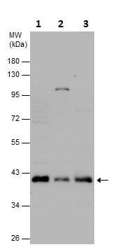 Western blot - Anti-Prostaglandin E Receptor EP1/PTGER1 antibody (ab229731)
