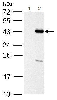 Western blot - Anti-PSRC1/DDA3 antibody (ab229742)