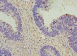 Immunohistochemistry (Formalin/PFA-fixed paraffin-embedded sections) - Anti-VANGL1 antibody (ab229743)