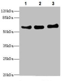 Western blot - Anti-VANGL1 antibody (ab229743)